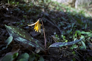 Trout Lilly 2