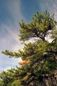 111009_Pine